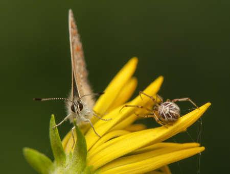 Polyommatus icarus and Metellina segmentata Stock Photo - 21128517