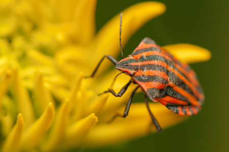 Graphosoma lineatum Stock Photo - 21128524