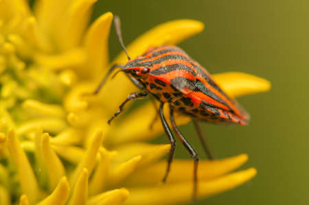 Graphosoma lineatum Stock Photo - 21128525