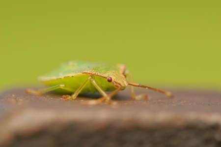 Palomena prasina larva Stock Photo - 21128526