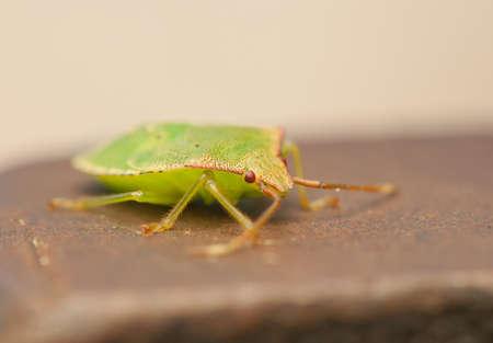 palomena prasina: Palomena prasina larva