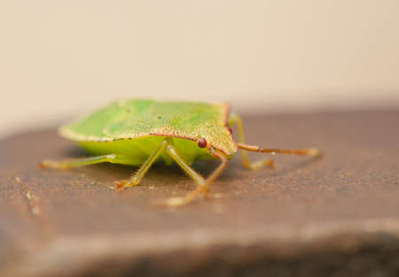 prasina: Palomena prasina larva