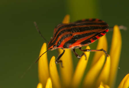 Graphosoma lineatum Stock Photo - 21128528
