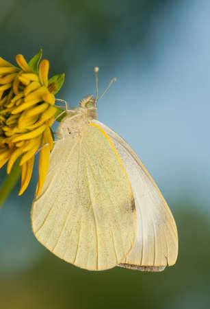 Pieris brassicae Stock Photo - 21128533