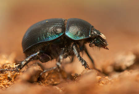 Geotrupes stercorarius Stock Photo - 21128583