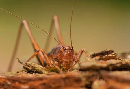 Pholidoptera griseoaptera Stock Photo - 21128585