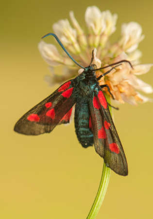 Zygaena lonicerae Stock Photo - 21128606