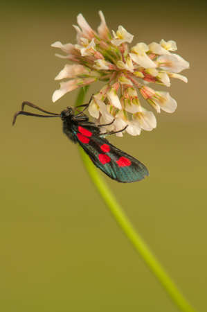 Zygaena lonicerae Stock Photo - 21128633