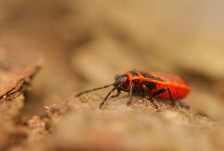 Pyrrhocoris apterus photo