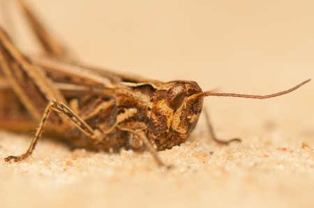 chorthippus: Chorthippus brunneus Stock Photo