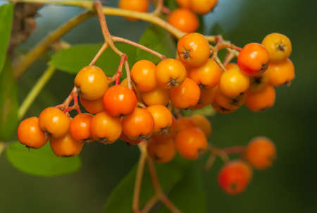 Sorbus aucuparia Stock Photo - 21128681