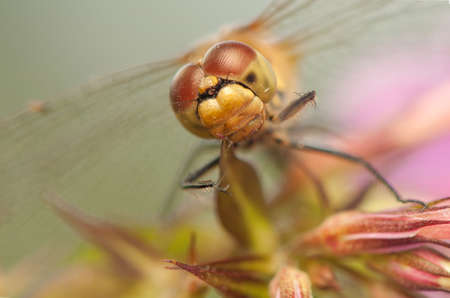 Sympetrum vulgatum Stock Photo - 21220571