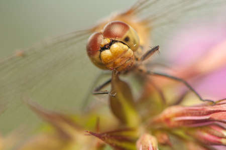 Sympetrum vulgatum Stock Photo - 21220572