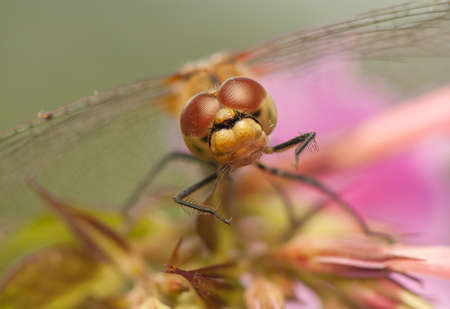 Sympetrum vulgatum Stock Photo - 21220573