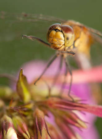 Sympetrum vulgatum Stock Photo - 21220586