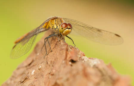 Sympetrum vulgatum Stock Photo - 21220618