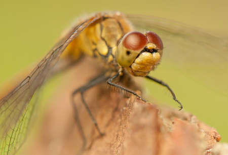 Sympetrum vulgatum photo