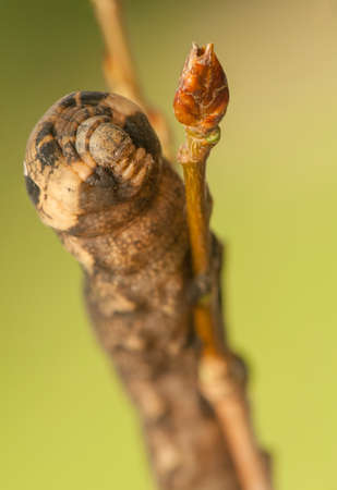 Deilephila elpenor photo