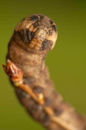 Deilephila elpenor Stock Photo