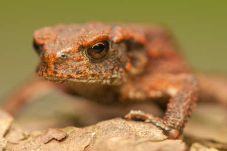 Bufo bufo Stock Photo - 21870770