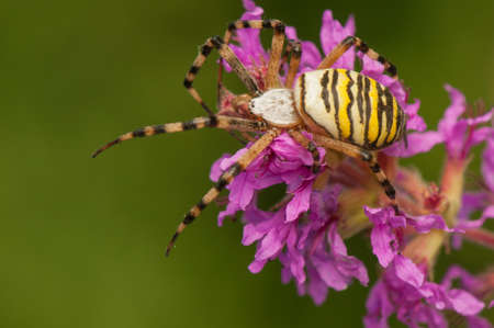 Argiope bruennichi Stock Photo - 21870821