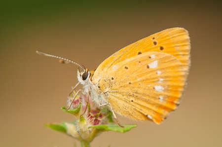 lycaena: Lycaena virgaureae