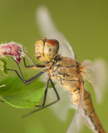 sympetrum: Sympetrum Stock Photo