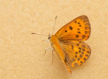 lycaeninae: Lycaena virgaureae