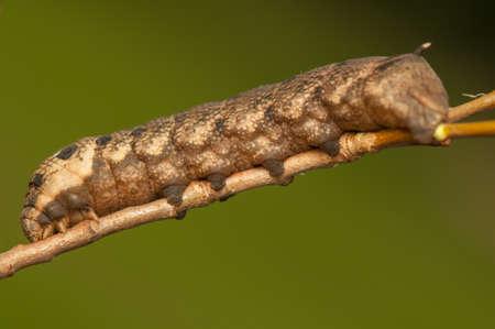 Deilephila elpenor Stock Photo - 21907354
