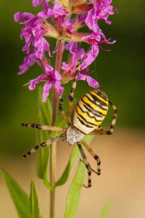 Argiope bruennichi photo