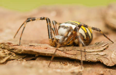 Argiope bruennichi Stock Photo - 21907378