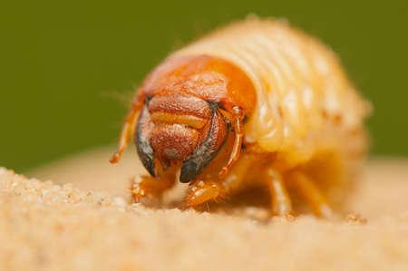 polyphylla: Polyphylla fullo