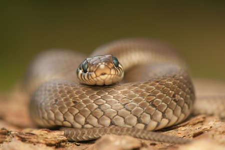 Grass snake Stock Photo - 22343031