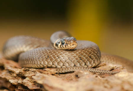 Grass snake Stock Photo - 22343664