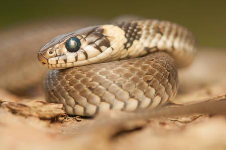 Grass snake Stock Photo - 22343666