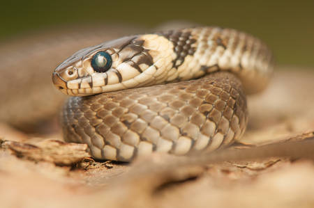 Grass snake Stock Photo - 22343666