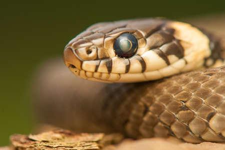 Grass snake Stock Photo - 22343669