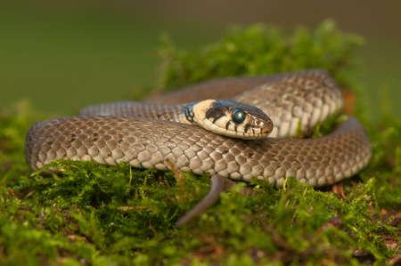 pgotography: Grass snake