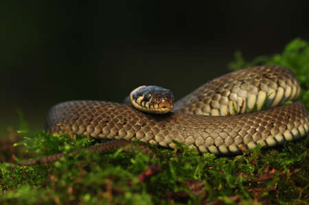 pgotography: Grass snake