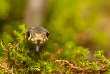 grass snake: Biscia Archivio Fotografico
