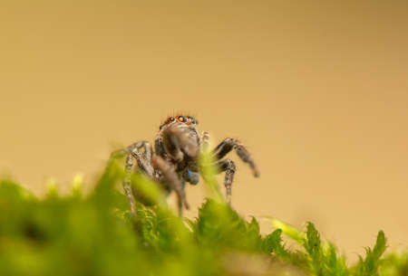 Evarcha - Jumping spider Stock Photo - 22772192