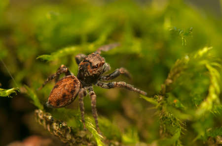 Evarcha - Jumping spider Stock Photo - 22772193