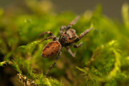 Evarcha - Jumping spider Stock Photo - 22772194