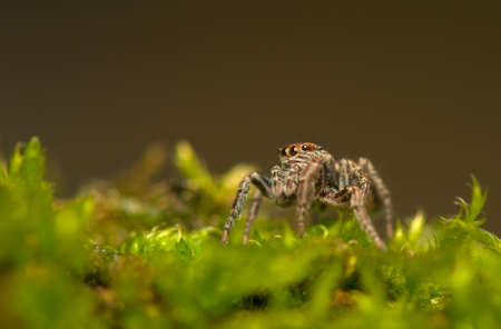 Evarcha - Jumping spider Stock Photo - 22772195