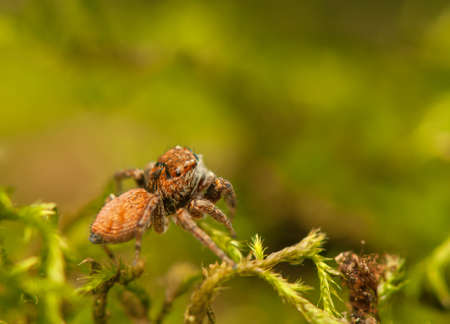 Evarcha - Jumping spider Stock Photo - 22772197