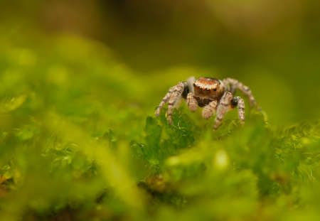 Evarcha - Jumping spider Stock Photo - 22772198