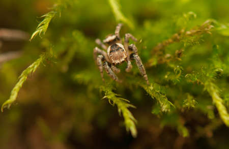 Evarcha - Jumping spider Stock Photo - 22772199