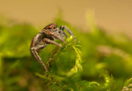 Evarcha - Jumping spider Stock Photo - 22772203