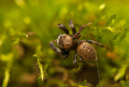 clse: Evarcha - Jumping spider