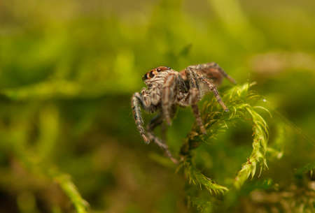 Evarcha - Jumping spider Stock Photo - 22772208